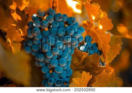 grape bunch in autumn colors very shallow focus
