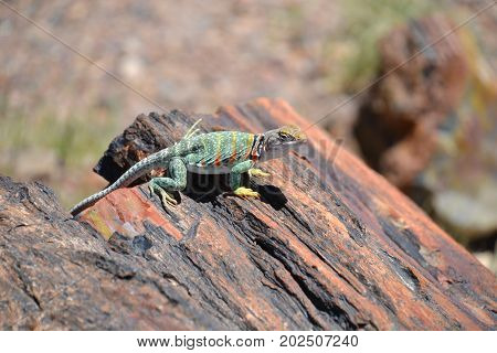 collard lizard seen in Arizona's petrified forest.