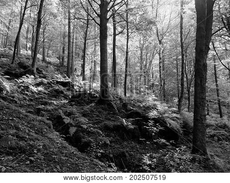 sunlit monochrome woodland in early autumn with mixed forest trees on a rocky fern strewn hillside