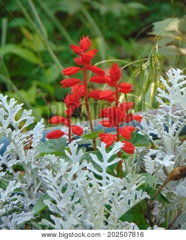 Red Salvia and Silver Dust Dusty Miller