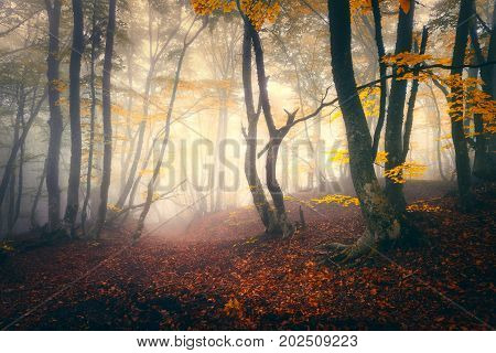 Autumn forest in fog. Fall woods. Enchanted autumn forest in fog in the evening. Old Tree. Landscape with trees, colorful yellow and red foliage and fog. Nature. Mystical foggy forest. Vibrant colors