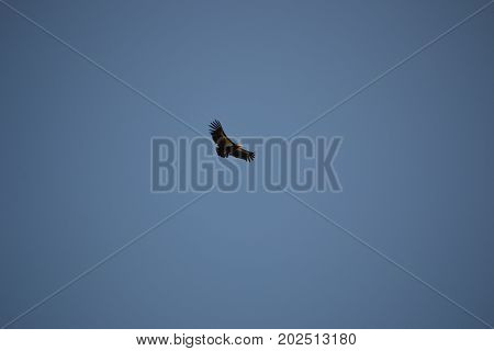 California Condor in flight in California's Central Coast. Condors are the largest land bird in the America's