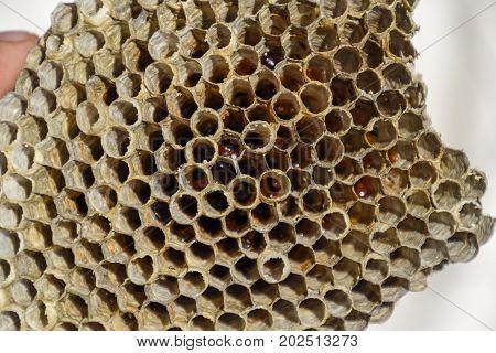 The Nest Is Aspen, Polist. The Aspen Nest At The End Of The Breeding Season. Stocks Of Honey In Hone