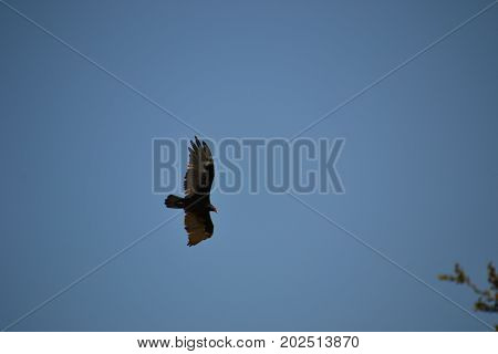 large Turkey vulture in flight searching for food