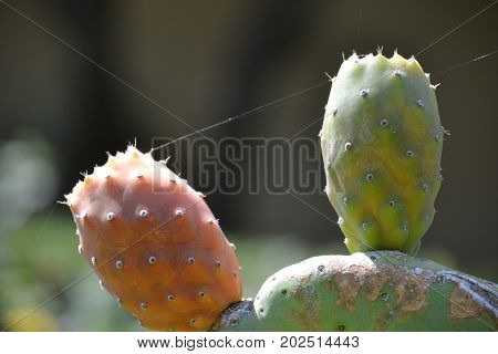 Opuntia cacti with prickly pear fruits ripening on the pads