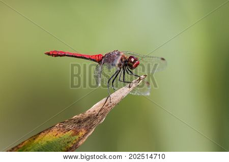 Ruddy Darter Dragonfly perched on a plant