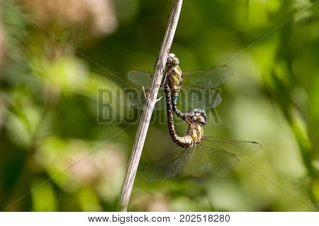 Migrant Hawker (Aeshna Mixta) Dragonfly during mating