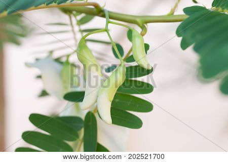 esbania grandiflora (Agasta, Sesban, Agati). Blossom, Soft shoots and young leaves can be cooked