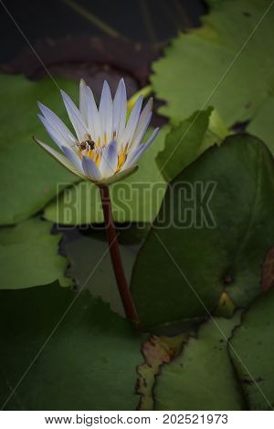 One tall light blue water lily, rising above a water garden full of green lily pads, on a reddish stalk, with a busy bee collecting pollen in its yellow center.