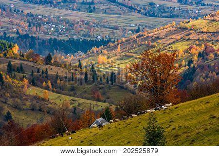 Herd Of Sheep On Hillside Meadow In Autumn
