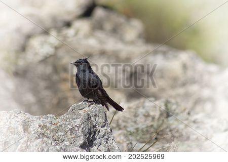 Crested Black-Tyrant Maria-preta-de-penacho, bird from Serra da Canastra, Brazil