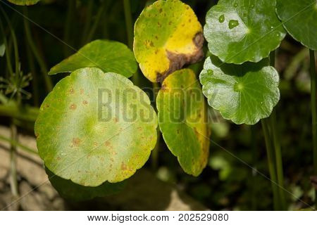 Close Up Of Disease Gotu Kola Tree