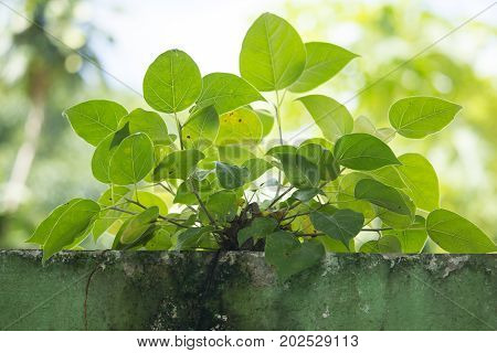 Small Young Green Tree Growth On Old Wall, Bodhi Tree