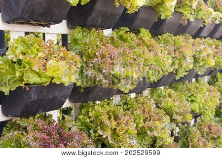 fresh organic lettuce wall in hydroponic farm