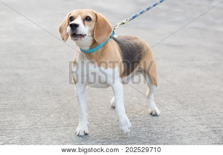 beagle dog with blue collar is barking on street