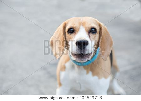 beagle dog with blue collar starring at camera