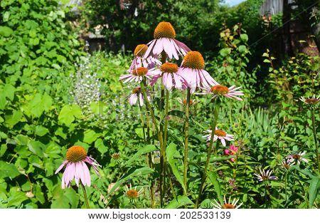 Echinacea Purpurea Flowers Flower Bed. Echinacea hedgehog coneflower or purple coneflower.