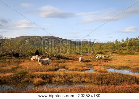 Herd of sheep in a mountain landscape in Setesdal Norway. Norwegian sheep is let out unprotected in the mountains in summer, despite the large predators living here as well. poster