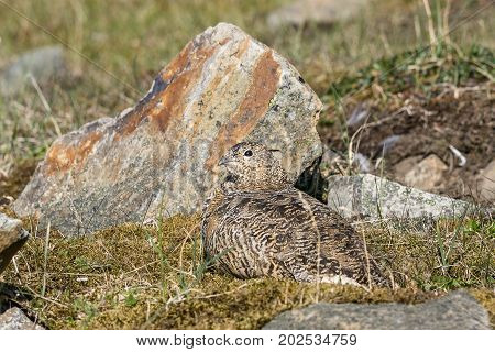 Rock ptarmigan, Lagopus muta, female with summer plumage, Gruvefjellet in Longyearbyen, Svalbard. Lying on ground, with rocks in the background.