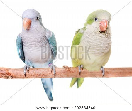 Monk parakeet in front of white background