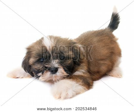 puppy shih tzu in front of white background