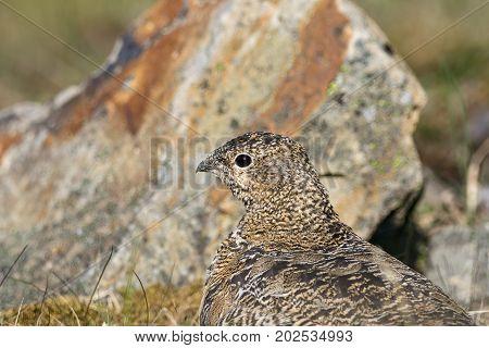 Rock ptarmigan, Lagopus muta, female with summer plumage, close up of head, looking left, Svalbard.
