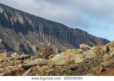 Rock ptarmigan, Lagopus muta, female with summer plumage, Gruvefjellet in Longyearbyen, Svalbard.