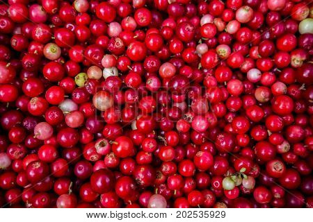 Collected cranberries healthy - autumn edible useful berries. Natural food of wild nature, rich in vitamins. Fall season of picking berries in Northern Europe and the tundra.