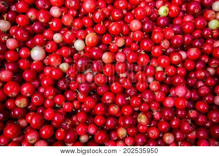 Collected cranberries healthy. Autumn edible useful berries. Natural food of wild nature, rich in vitamins. Fall season of picking berries in Northern Europe and the tundra.
