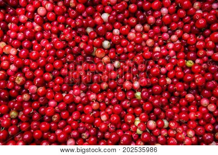Forest cranberries healthy. Autumn edible useful berries. Natural food of wild nature, rich in vitamins. Fall season of picking berries in Northern Europe and the tundra.