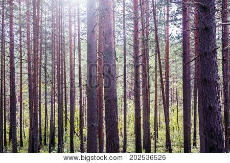 Mystic pines high in the evenin, the mystical nature of the wild forest. The landscape of Northern coniferous trees with long trunks.