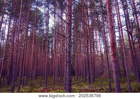Mystic pines high at sunset in the sky. The mystical nature of the wild forest. The landscape of Northern coniferous trees with long trunks