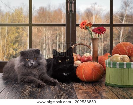 Cats lying on the windowsill. Outside the window autumn. Pumpkins onions in a basket flowers in a vase. Cozy