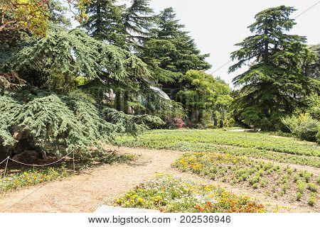 Sprawling coniferous trees. Lush vegetation of the Nikitsky Botanical Garden in the Crimea.