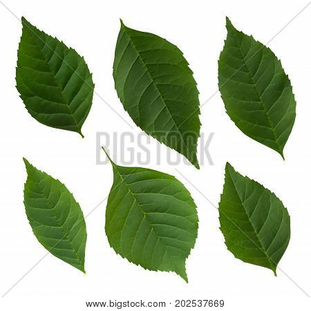 Green Leaf Set Isolated