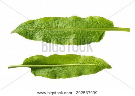 Horseradish Leaves Isolated