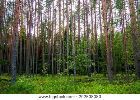 Mystic green pines high in the evening. The mystical nature of the wild forest. The landscape of Northern coniferous trees with long trunks.