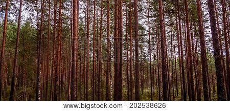 Panorama Pines high mystical evening. The mystical nature of the wild forest. The landscape of Northern coniferous trees with long trunks.