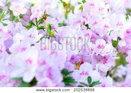 Pink Spring Flowers Azalea