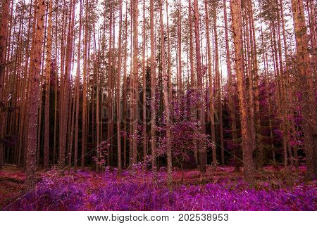 Panorama red pines high mystical evening. The mystical nature of the wild forest. The landscape of Northern coniferous trees with long trunks.