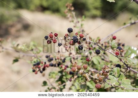 Wild, forest blackberry (Rubus fruticosus) grows in the forest on a sunny day