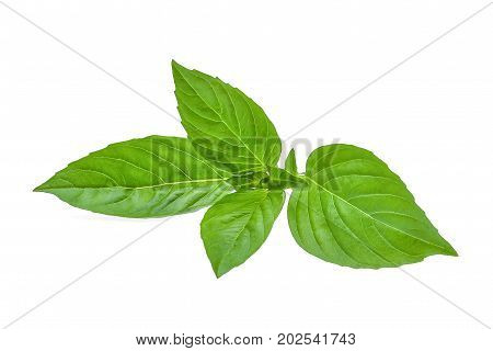 green leaf of basil herb isolted on white background