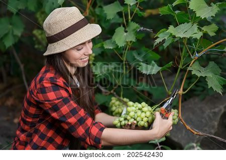 woman gardener with secateurs picking grape. Girl farmer. Harvesting of grape. Gardening, agriculture, viticulture, harvest concept