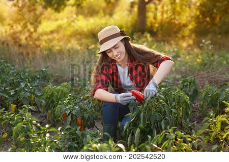 Happy young woman gardener with bell pepper in garden. Young farmer harvesting bell pepper. Gardening, agriculture, autumn harvest concept