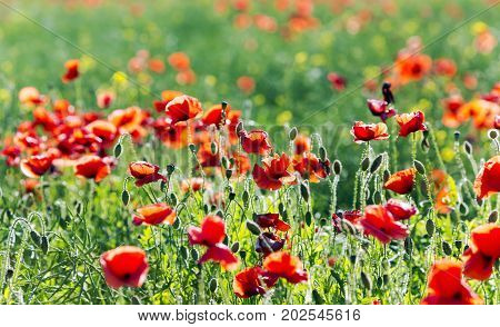 Summer red poppies on green weeds fields during spring in Latvia