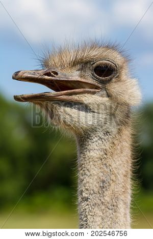 Funny ostrich female head closeup with big eye with green background and selective focus