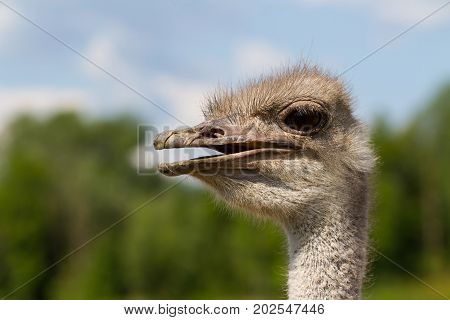 Funny ostrich female head closeup with big eye and with green background and selective focus