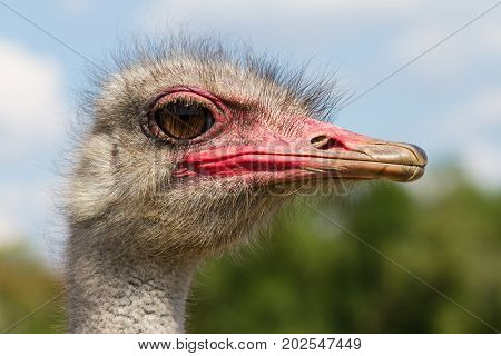 Funny ostrich male head closeup with big eye and pink beak with green background and selective focus