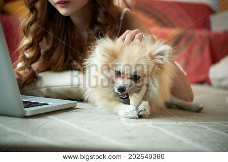 Adorable fluffy pomeranian spitz chewing his toy when his owner is patting him