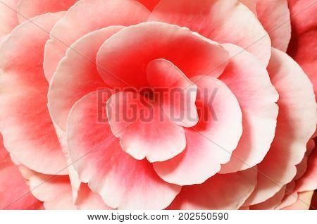 Flower Background, Pink Begonias,